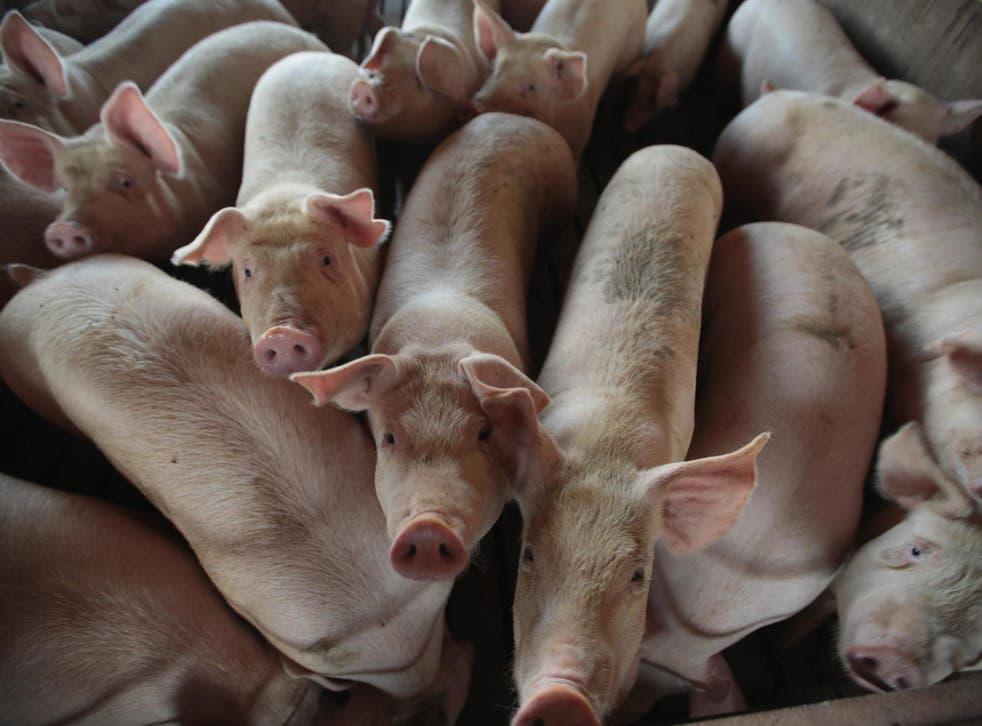 A pig farm in Iowa