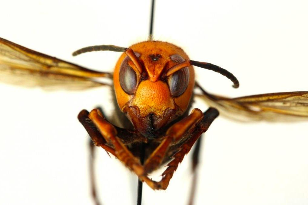 Murder hornets: The predatory Asian insects threatening to decimate US honey bees photo
