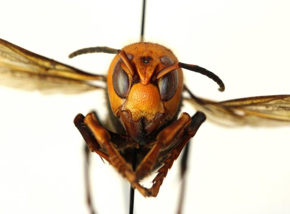 Asian giant hornets, nicknamed 'murder hornets', attack honeybee hives, decapitate the bees and feed their bodies to their young