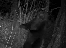 First brown bear in 150 years spotted in Spain national park