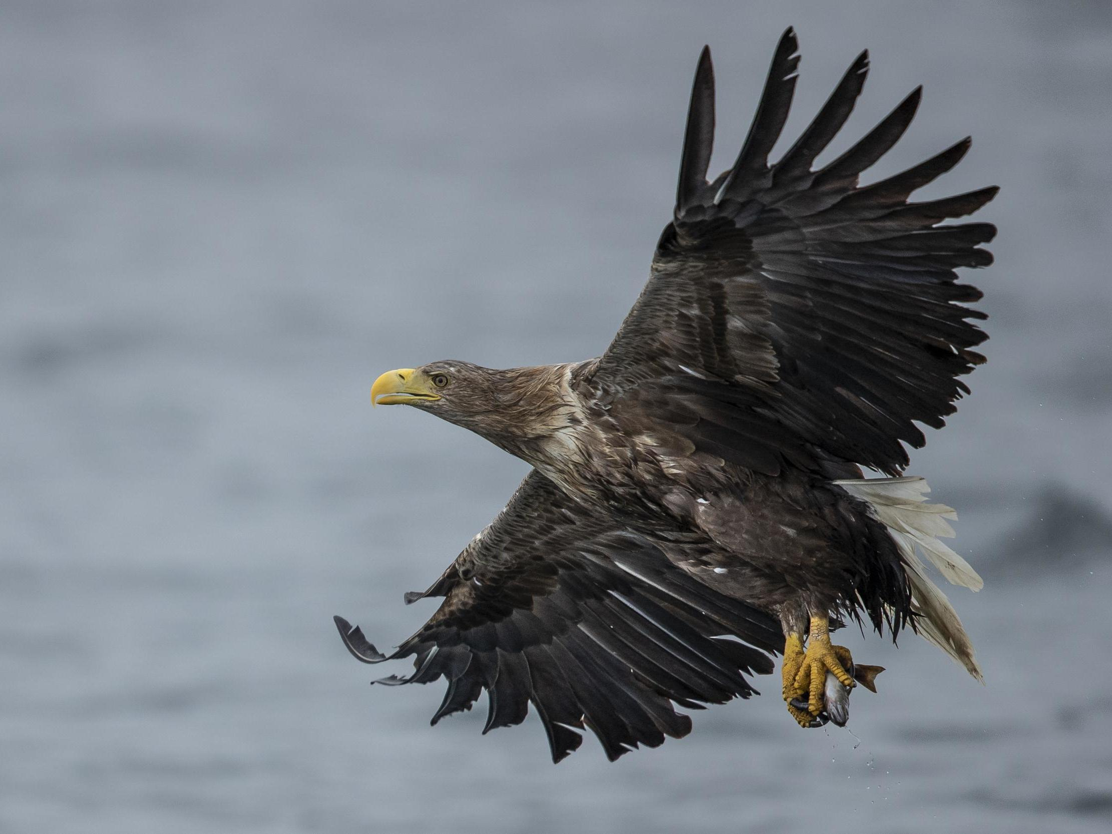 Uk S Largest Bird Of Prey Returns To England For First Time In 240 Years The Independent The Independent