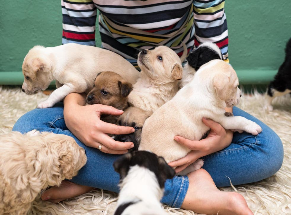 Most popular dog breed in the US has been revealed (Stock)