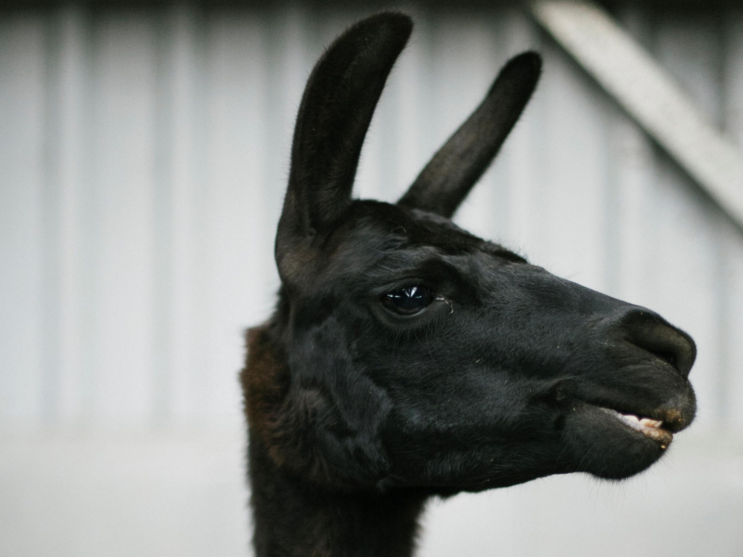 Coronavirus: Llamas offer hope in fight against the outbreak