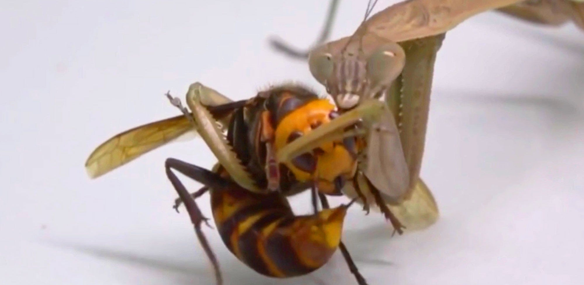 Vídeo chocante mostra 'vespa assassina' sendo comida com vida por louva-deus