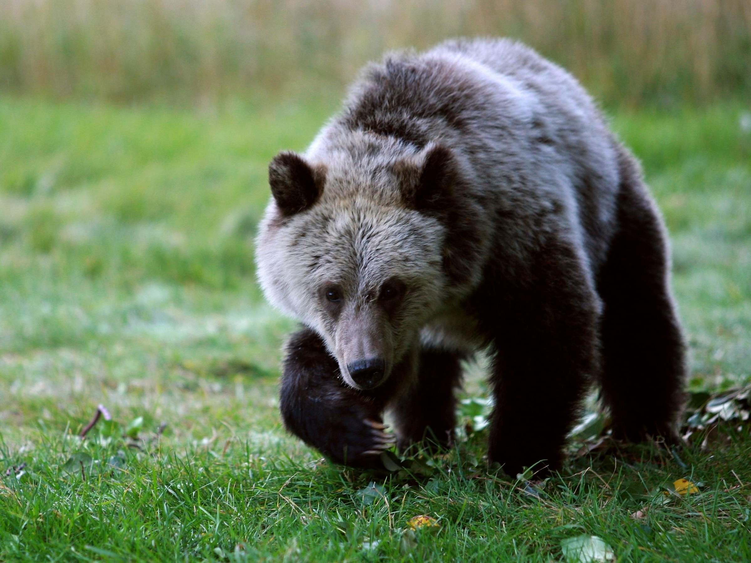 'Amazingly cruel': New Trump public land rules will let hunters kill bear cubs in dens