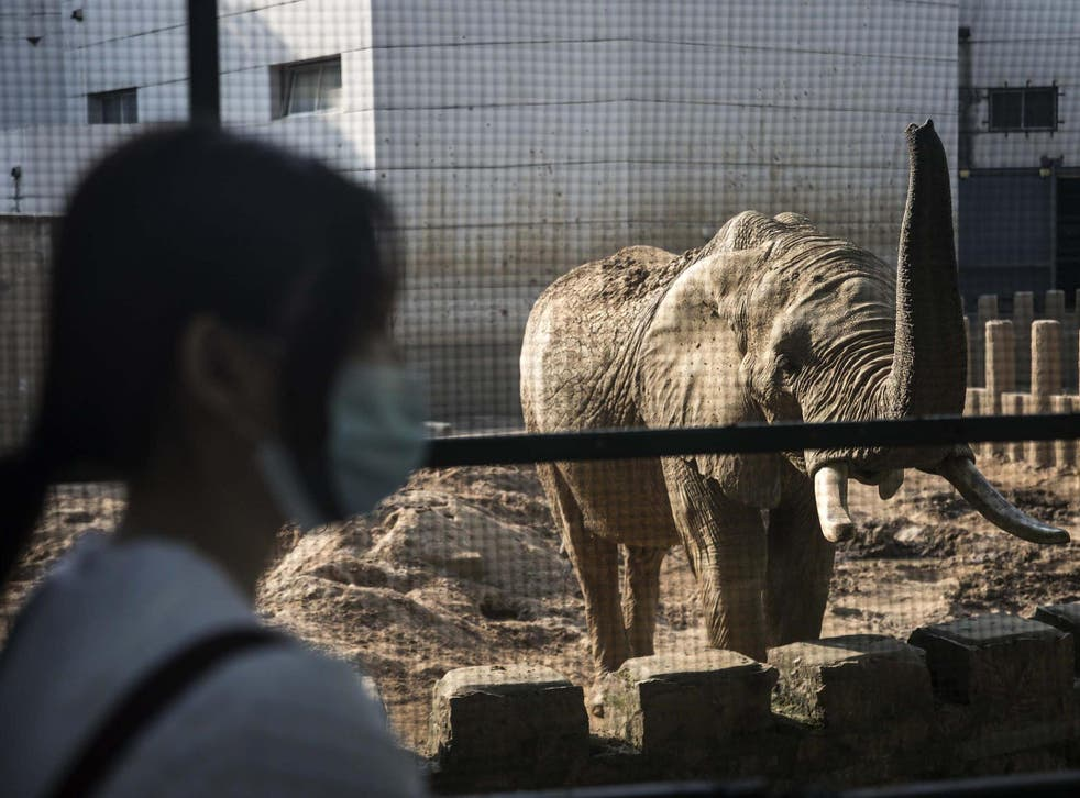 An elephant at a zoo in Wuhan, China; the country regularly imports African wildlife