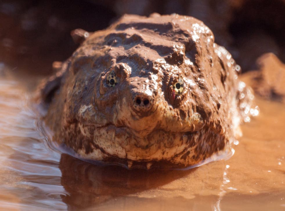 An alligator snapping turtle eats anything and is, therefore, much more likely to survive