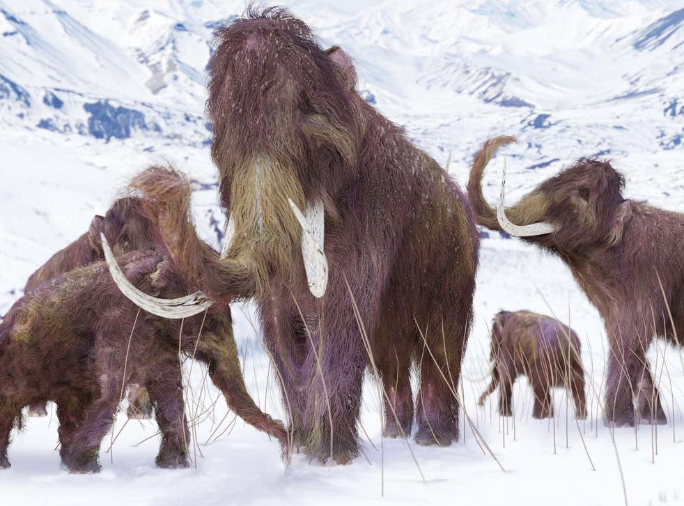 Woolly mammoths once roamed the Earth but became victims of extinction
