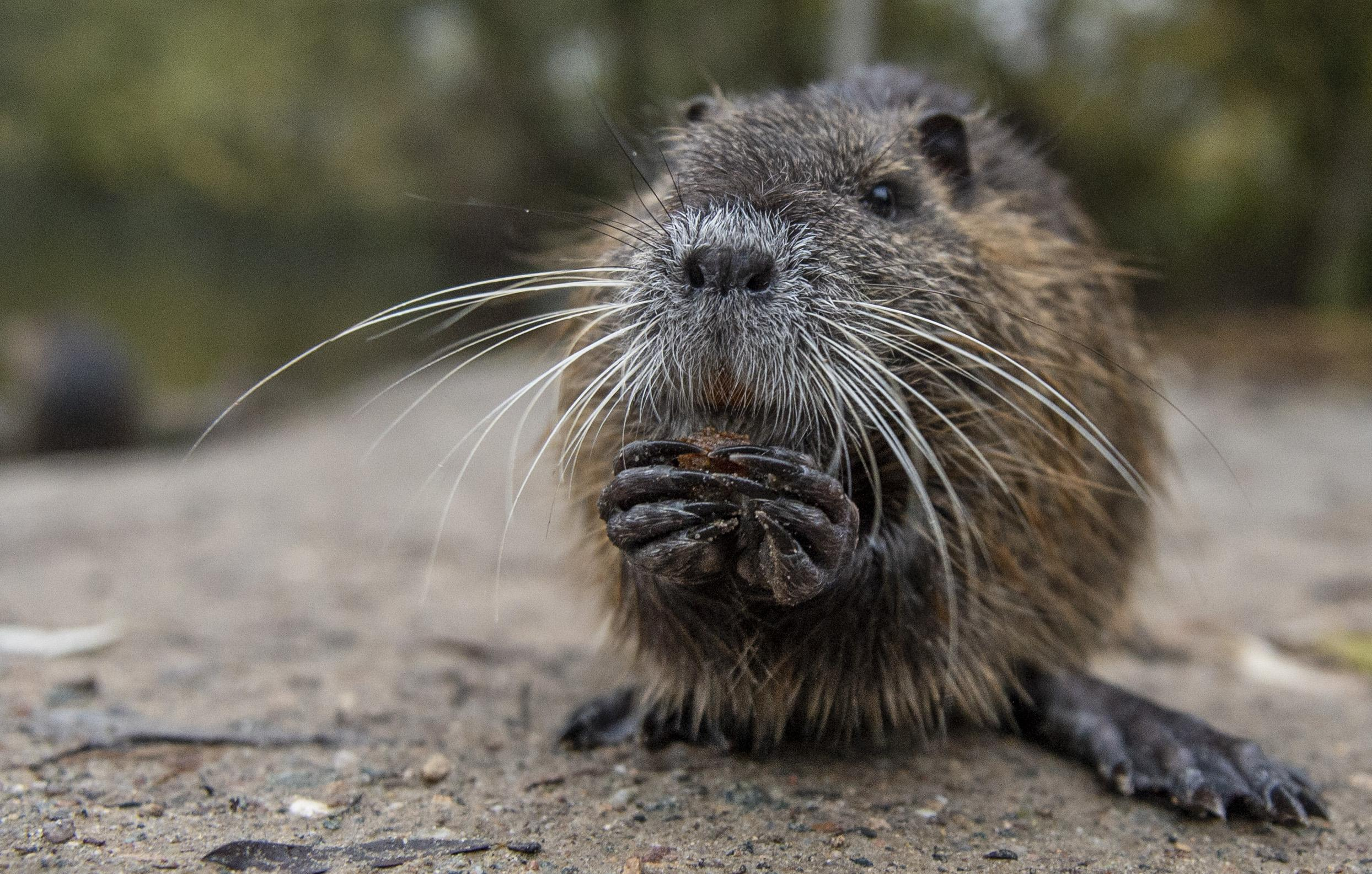 Coronavirus: Aggressive rodents looking for new food ...