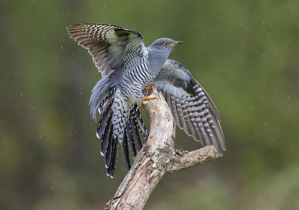 A cuckoo lands on a branch in the rain