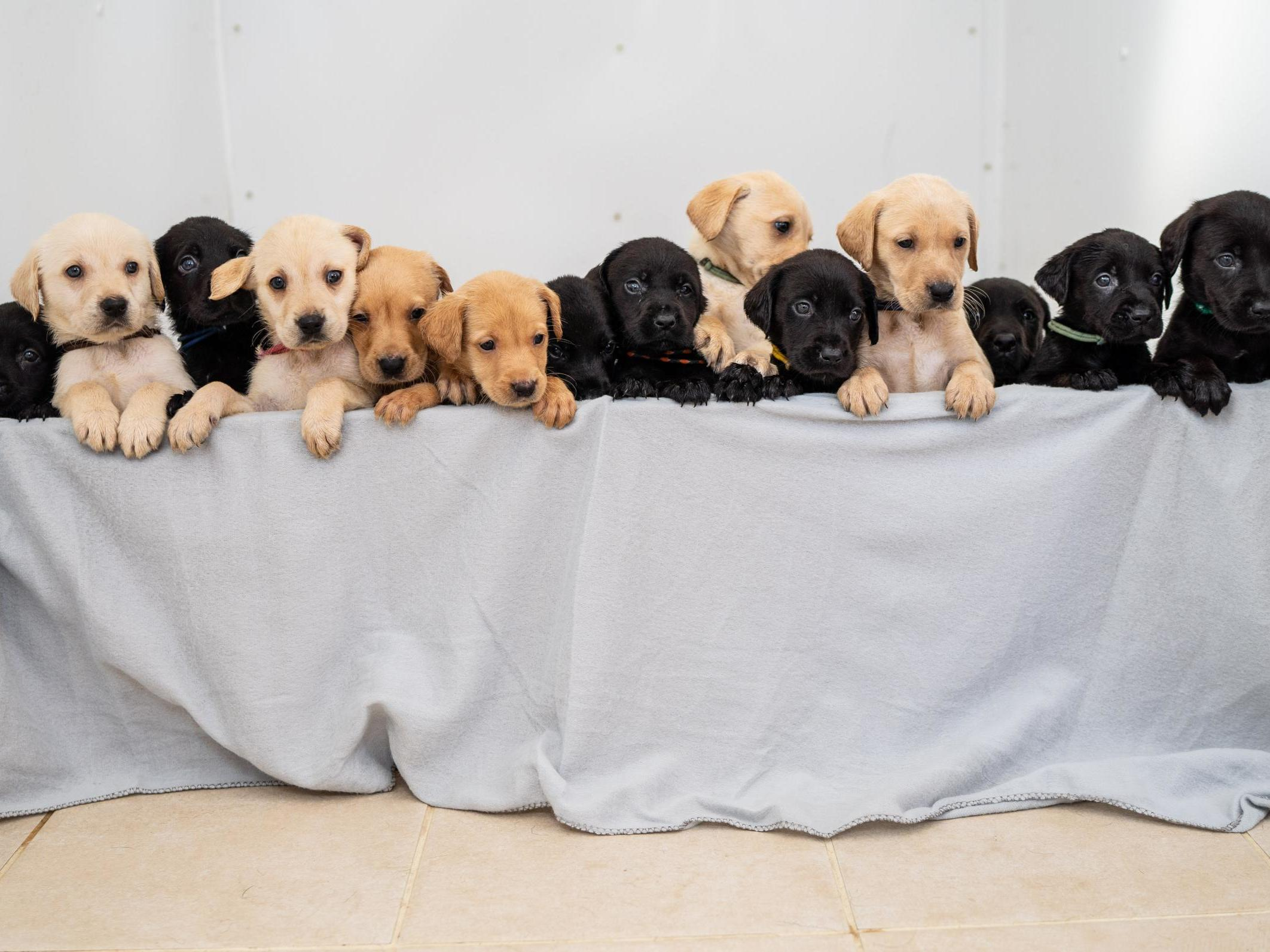 Labrador Gives Birth To 14 Puppies One Of The Biggest Litters Ever For Breed The Independent Independent