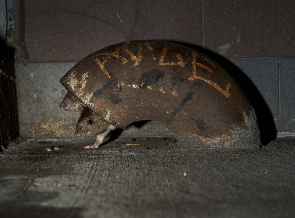Two rats peek their heads out of a hiding place in New York