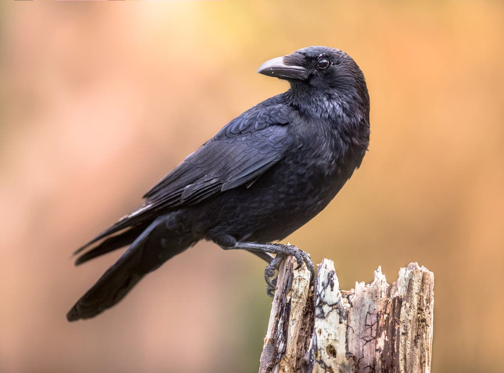 Carrion crow. Scientists tracked two species of corvid to find out how their chick-rearing techniques affected their success