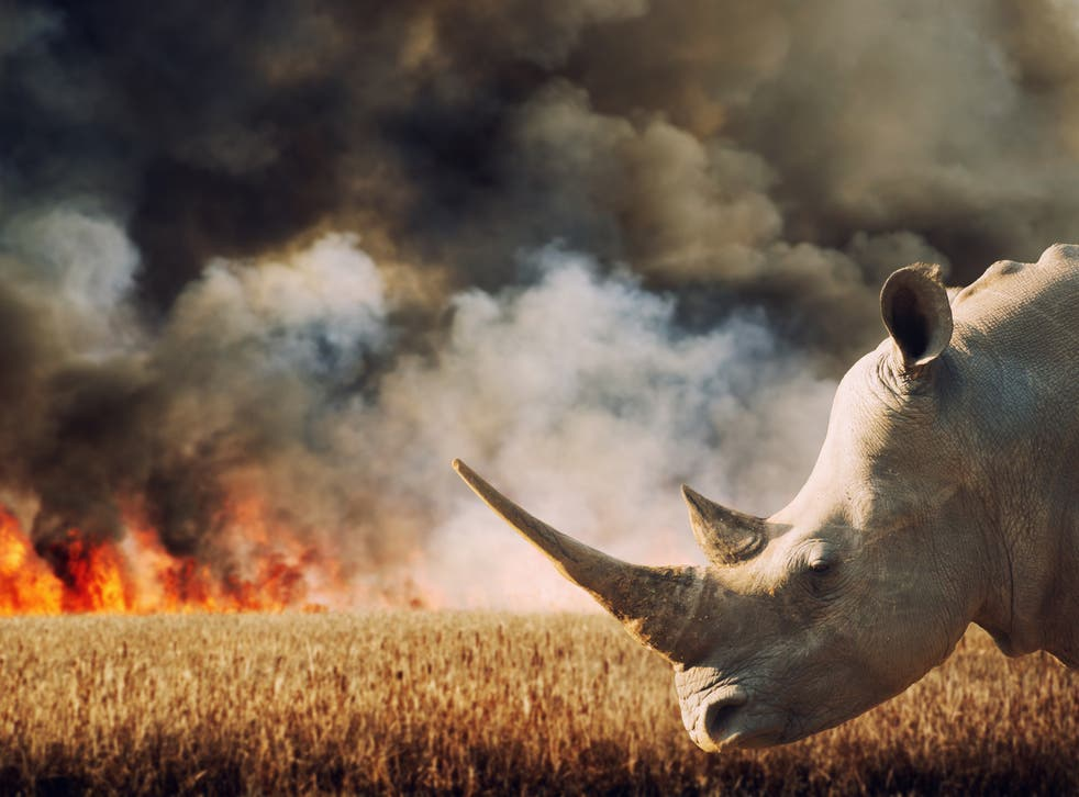 Rhinoceros in front of burning savannah in South Africa. Hundreds of species are under increasing threat due to factors including human population growth, habitat destruction, and the illegal wildlife trade