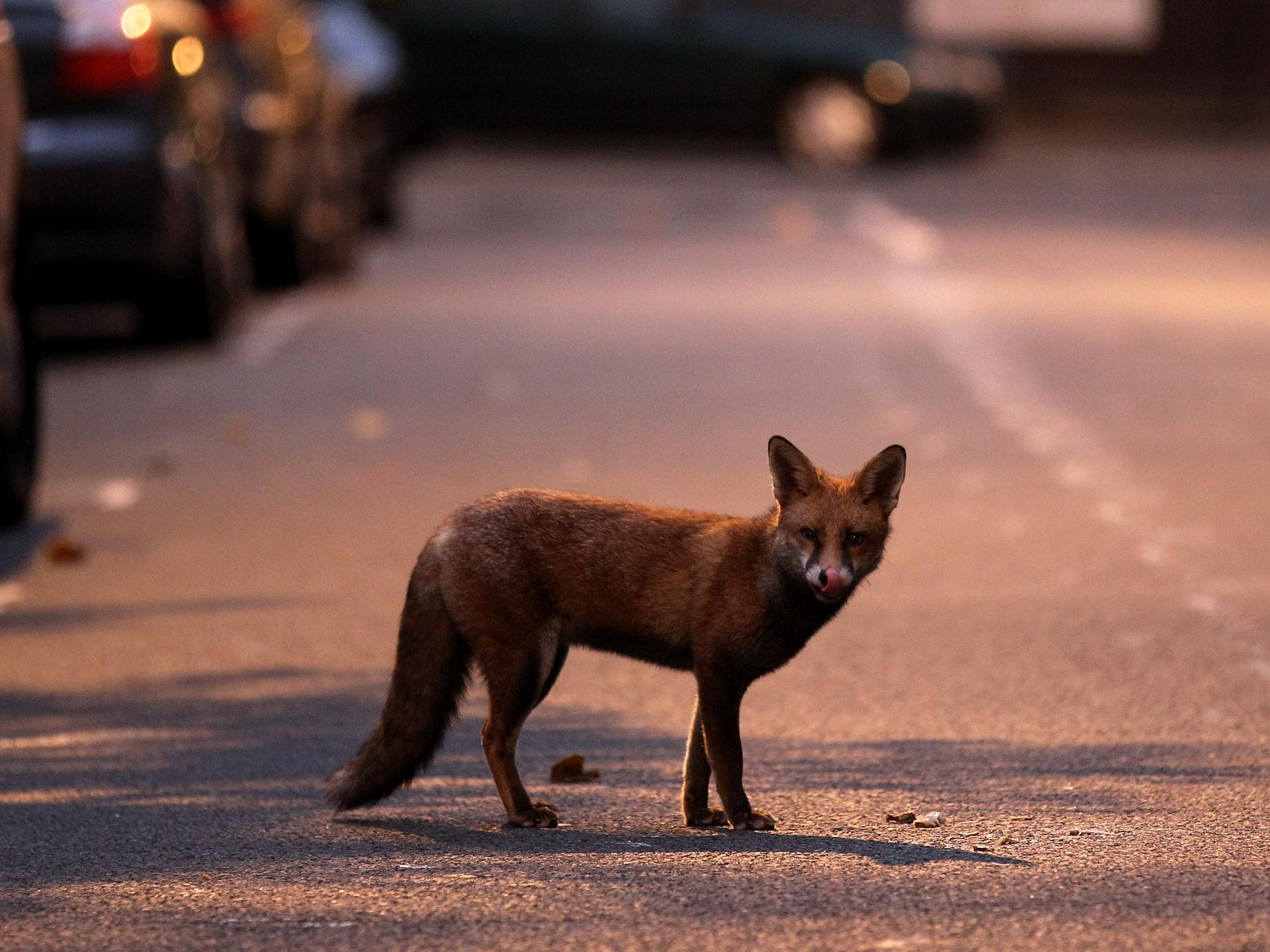 Urban foxes are growing more 'similar to domesticated dogs', research finds