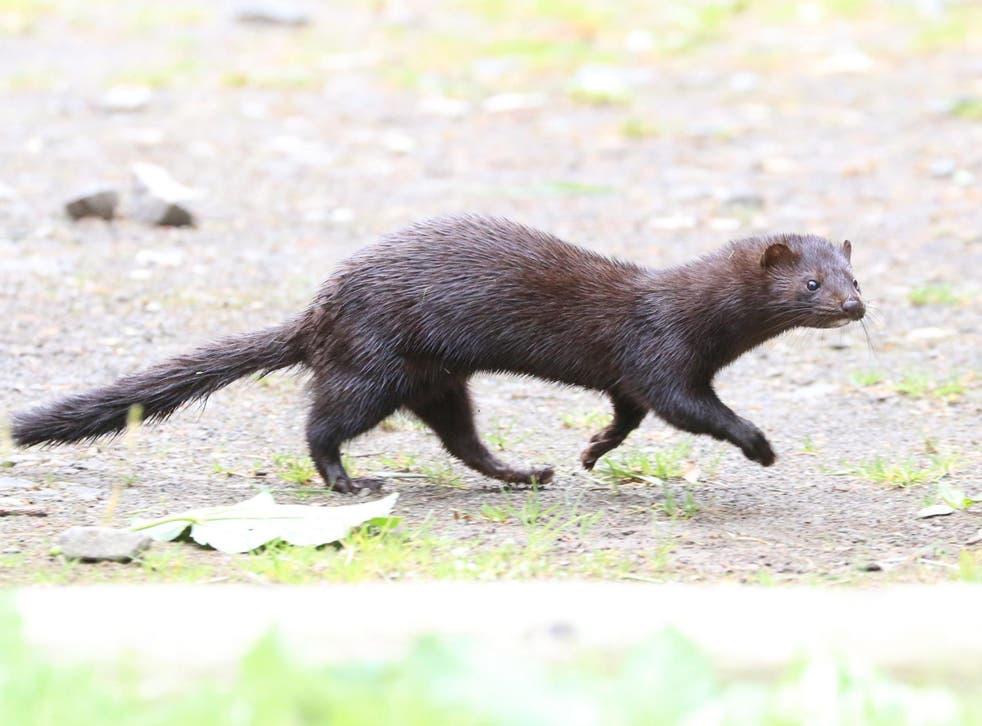 Invasive animal species - such as the American mink - are a threat to protected areas, researchers have said