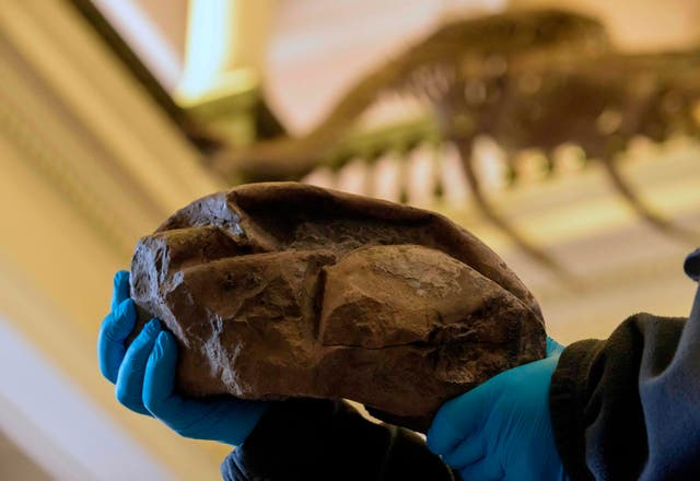 The fossil egg allegedly from a mosasaurus, a dinosaur species that lived in the Antarctic Peninsula 66 million-years ago