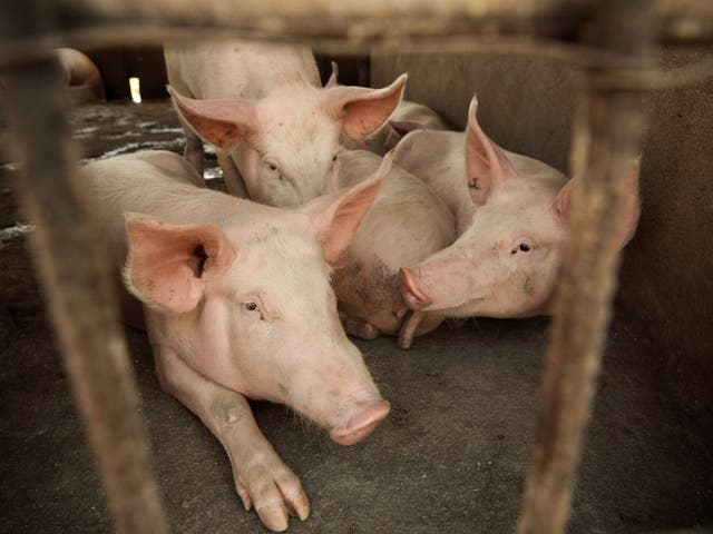 African Swine Fever is deadly to around 100 per cent of pigs