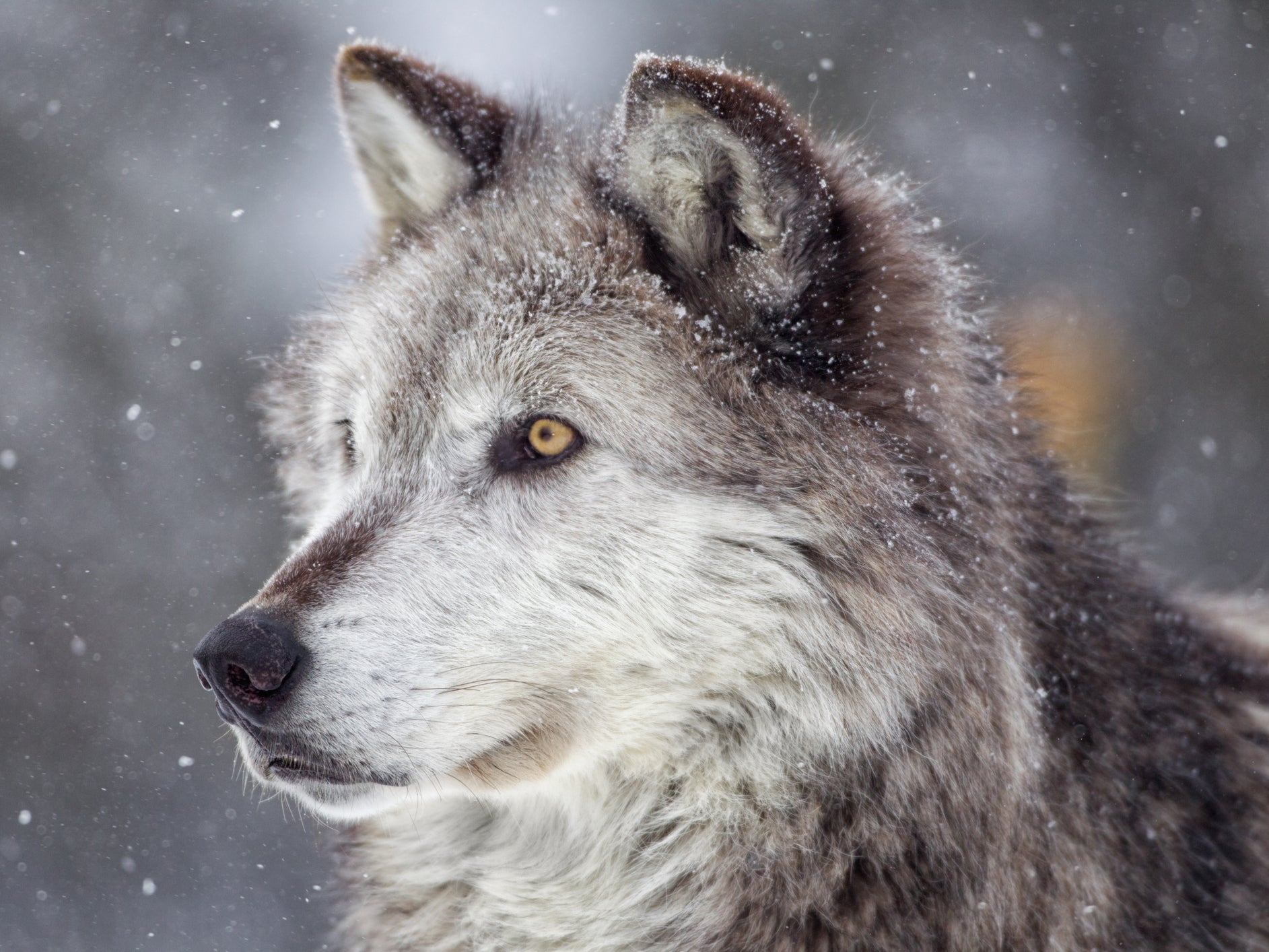 YouTube could be effective wolf conservation tool, research suggests thumbnail