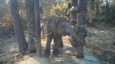 Elephant training called 'the crush' revealed in rarely-seen video