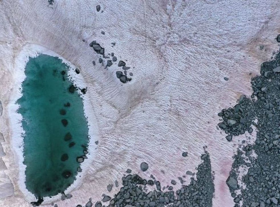 Pink-coloured snow has appeared on the Presena glacier, likely die to presence of algae