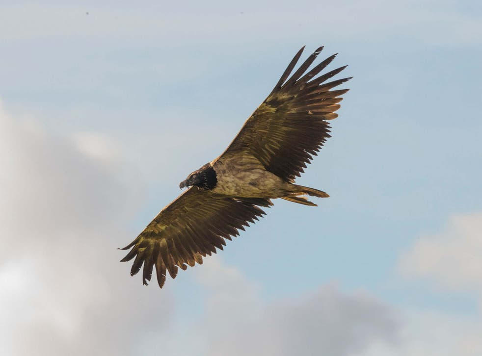 The bearded vulture, which has a wingspan of up to three metres, has only been seen in the UK once before