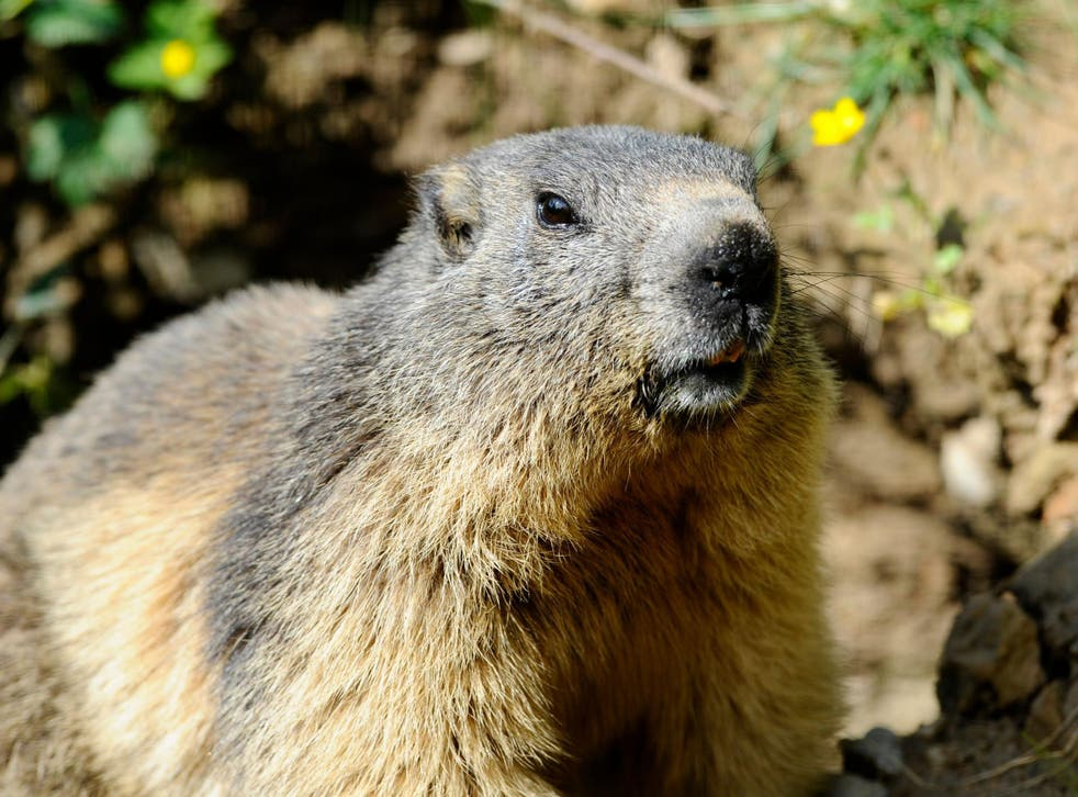 Marmots are known carriers of the disease