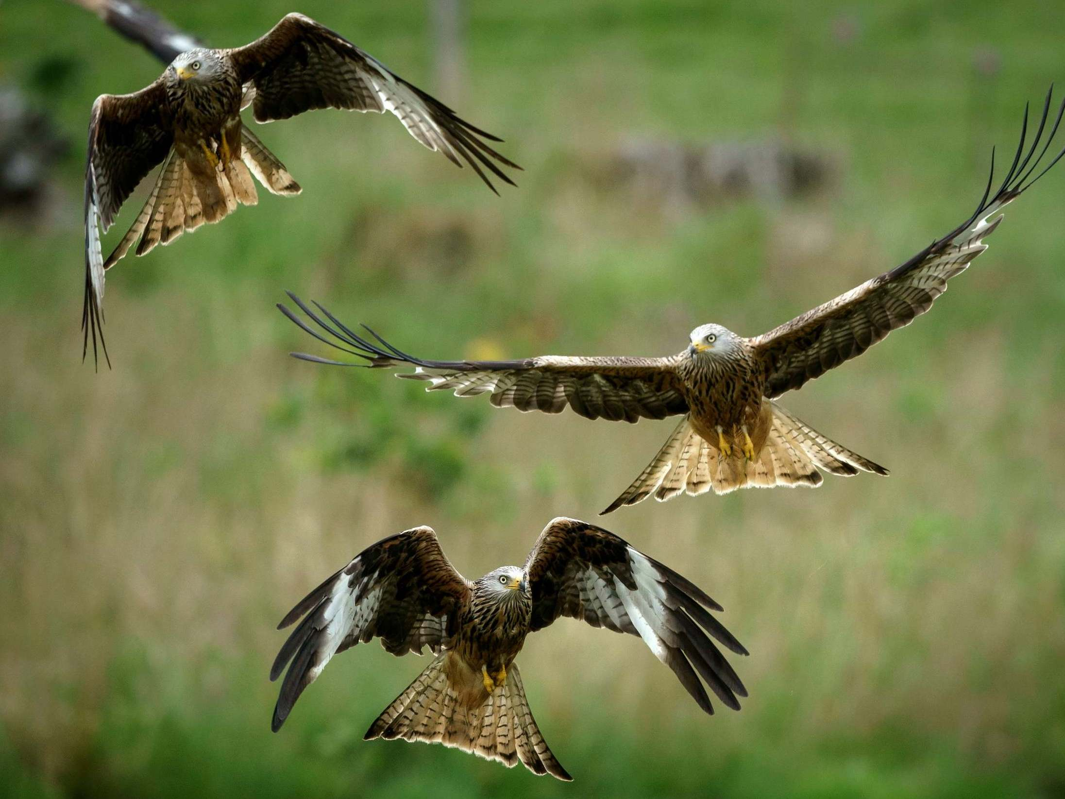 Red Kite Reintroduction Might Be Biggest Species Success Story In Uk Conservation History The Independent The Independent