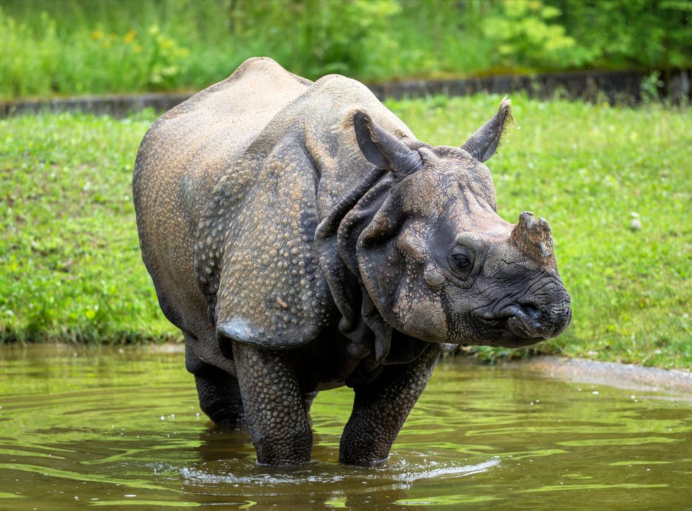 Around 2,500 of the world's 3,000 one-horned rhinos live in Kaziranga National Park in Assam, India