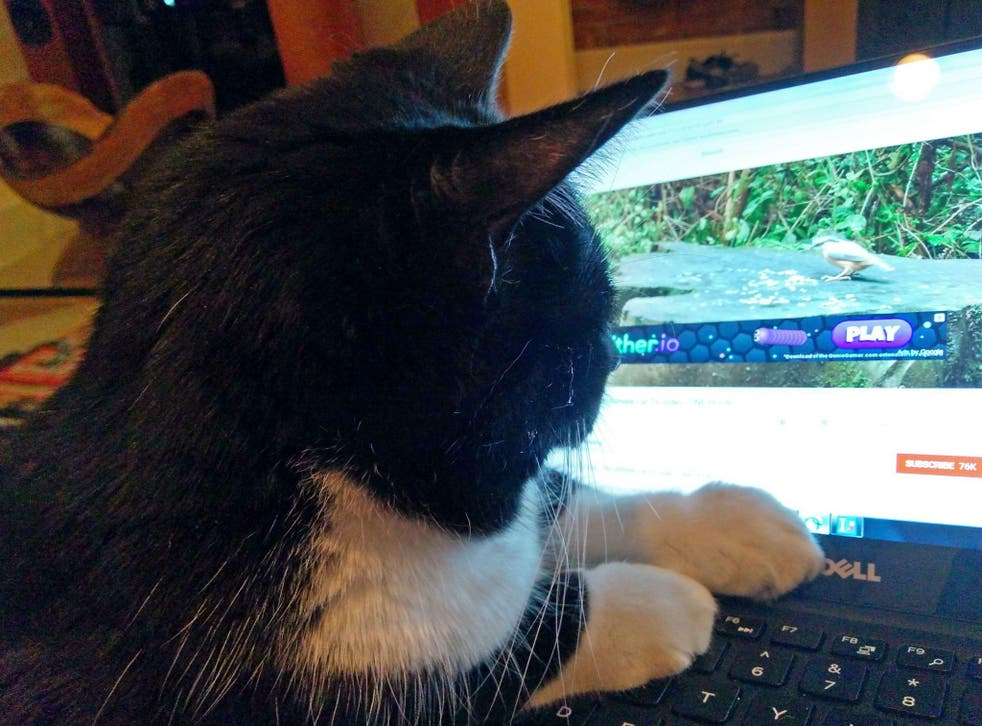 Koko, the cat, watches Cat TV on a laptop in Washington, DC December 21, 2017