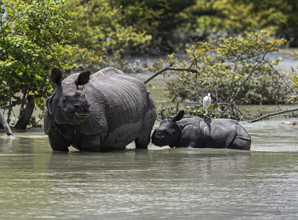 A one-horned rhin and calf wade through floodwater at a wildlife sanctuary in Assam