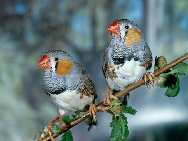 Spot the difference. The AI managed to correctly identify individual zebra finches