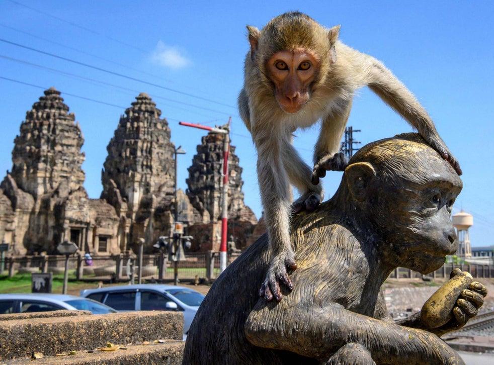 Eens vereerd, hebben de apen nu het hart van de stad ingenomen