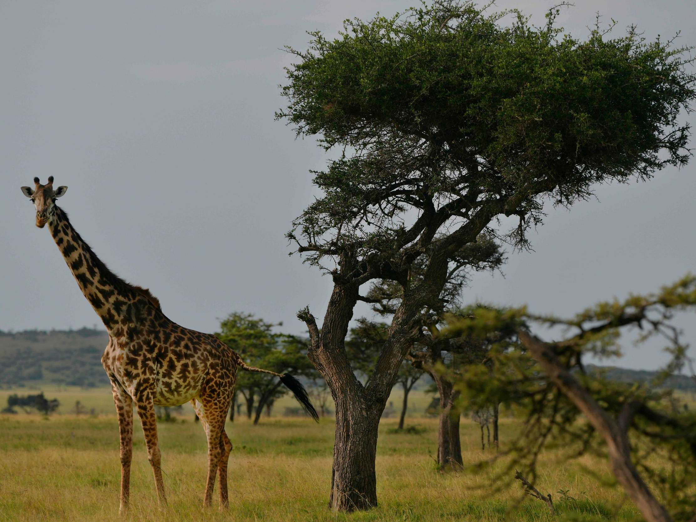 Giraffes are vulnerable to extinction. So why won't America decide on protecting them until 2025?