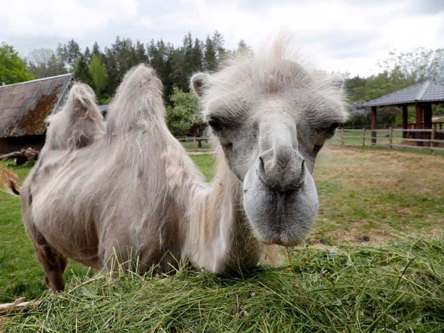 Camel Adaptations of