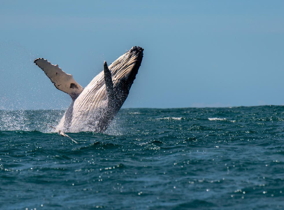 A woman has been injured after being hit by a humpback whale off the coast of Australia