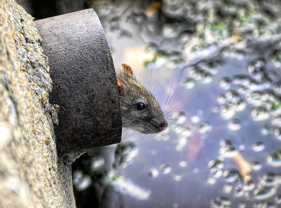 The effect was found to be strongest for rodents, bats and passerine bird species