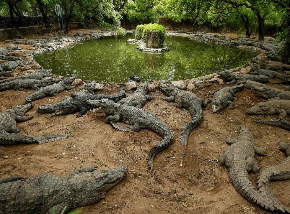 Crocodiles rest in their enclosure at the Madras Crocodile Bank, closed due to the outbreak of coronavirus disease