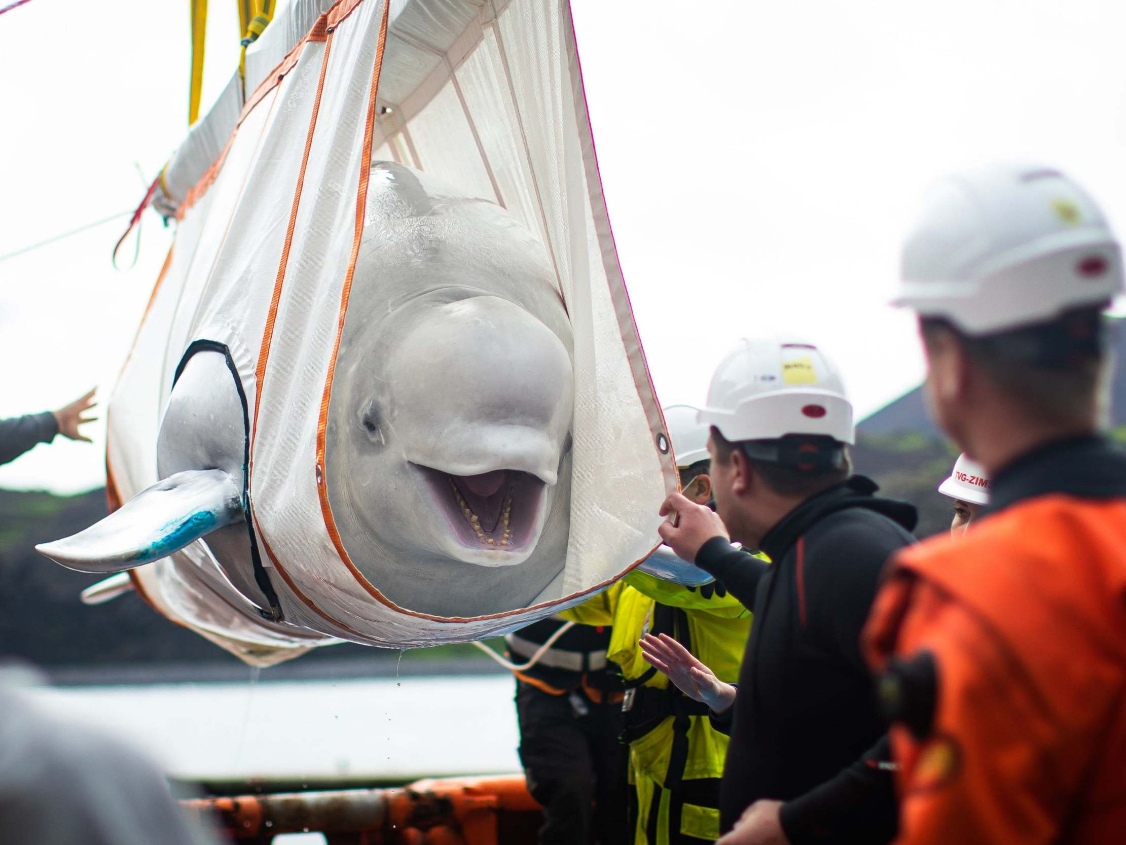 Beluga Whales Transported 6,000 Miles From Captivity in China to New Ocean Refuge