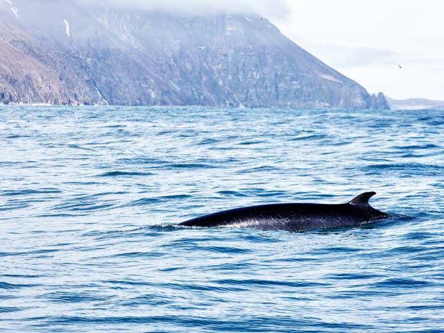File photo of a minke whale off the coast of Iceland