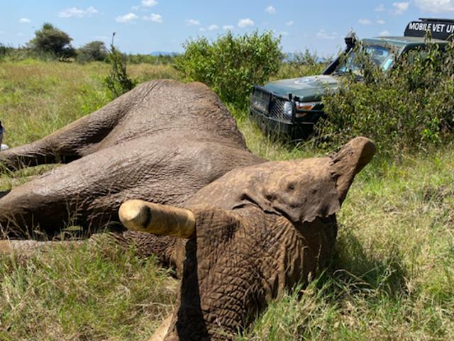 Alan the elephant awaiting treatment by the Kenya Wildlife Service vet team
