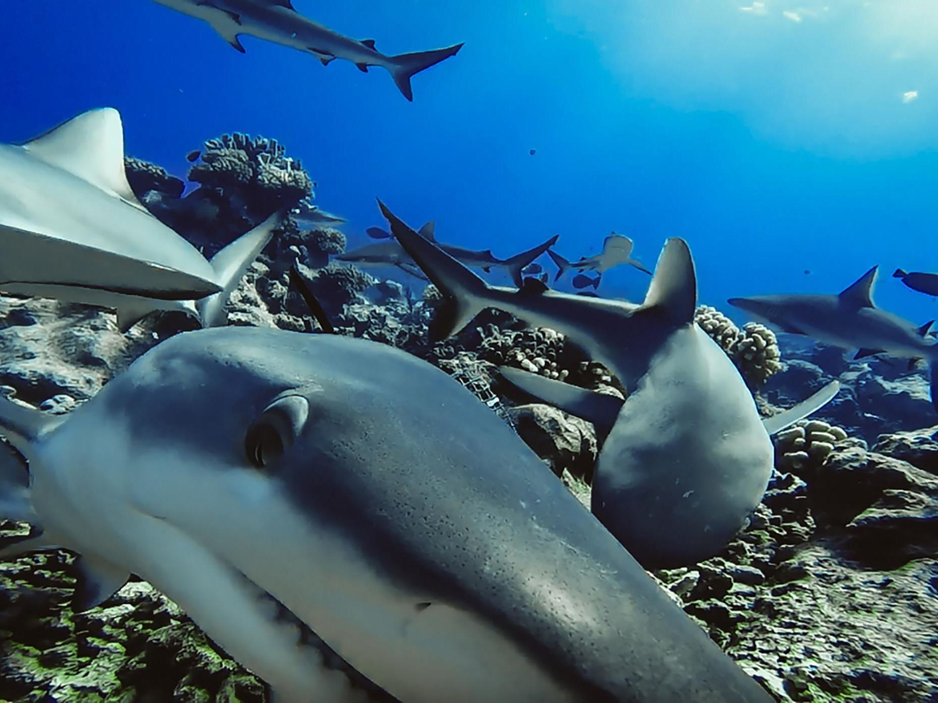 Grey reef sharks form long-term friendships, study reveals - The Independent