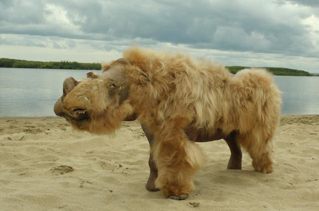 The preserved, reconstructed remains of a baby woolly rhinoceros named Sasha that was discovered in Siberia