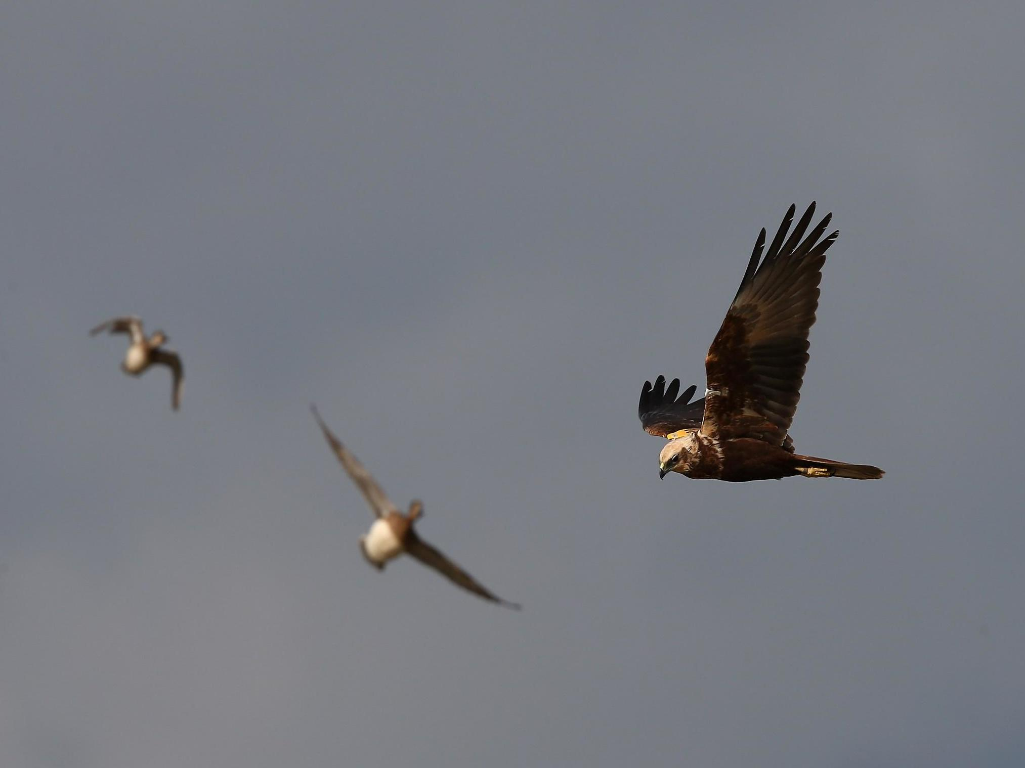 Lockdown sees 'most successful breeding year in decades' for marsh harriers