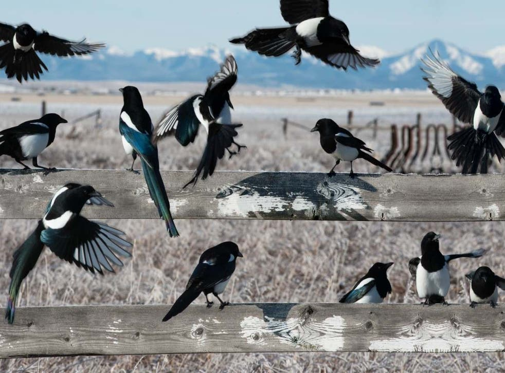 The magpie, the Marmite of the bird world