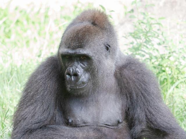 Western lowland gorilla Tumani, 1 July 2020