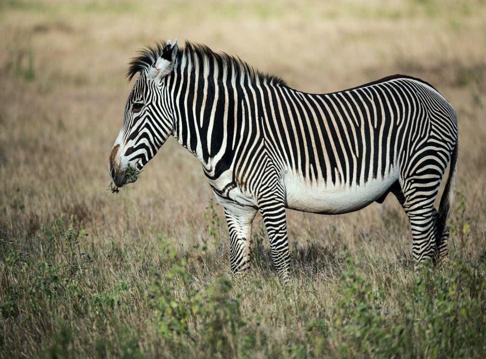 Grevy's zebras live only in Kenya and Ethiopia