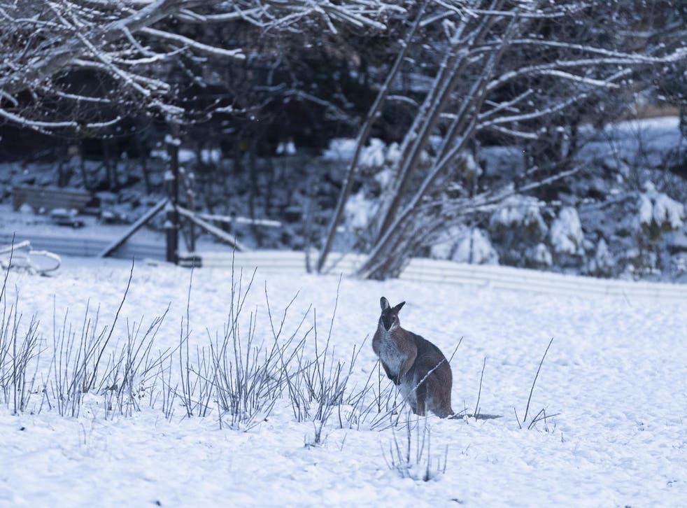 Se ve un marsupial en la nieve el 23 de agosto de 2020 en Adaminaby, Australia