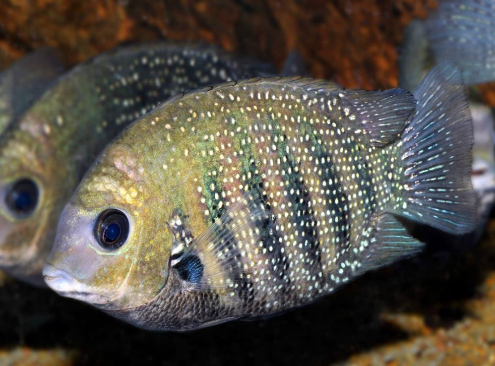 El pescado perlado es un ingrediente popular en los platillos de Medio Oriente