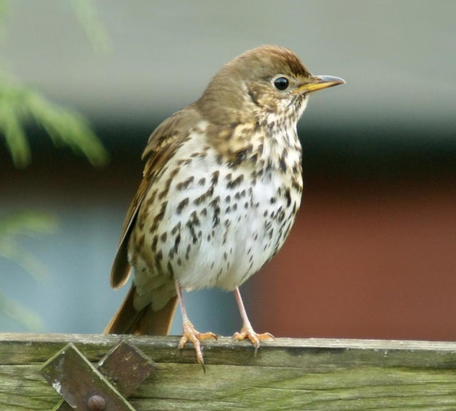 Hunters target thrushes and other songbirds with the controversial traps